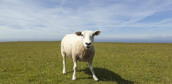 sheep_landscape_fotografie_c_LBast